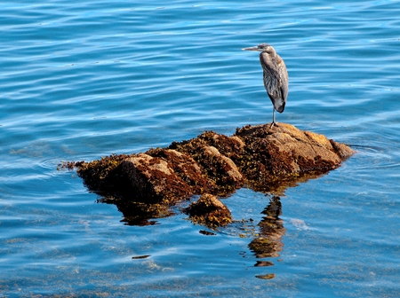 Great Blue Heron fishing on the rocky shore in Sidney, Vancouver Island, BC Canada