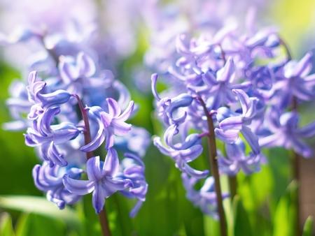 Purple hyacinth close-up, blurred background Banco de Imagens