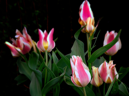 Spring tulips in full bloom, close-up Stock Photo