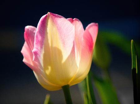 Spring tulip in full bloom, close-up