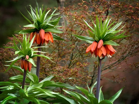 Fritillaria imperialis (crown imperial, imperial fritillary or Kaisers crown), also called reverse tulip