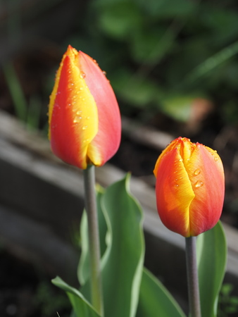 Spring tulip with rain drops in full bloom, close-up