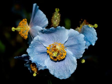 Blue flowers of Himalayan blue Tibet Poppy (Meconopsis betonicifolia)