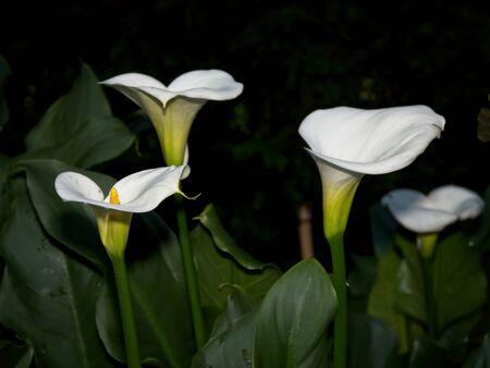 White calla lilies (arum lily, Zantedeschia aethiopica) growing against dark background