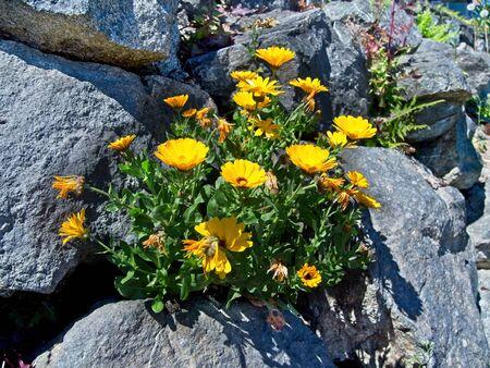Wallflowers (Erysimum) decorating rocky retaining wall