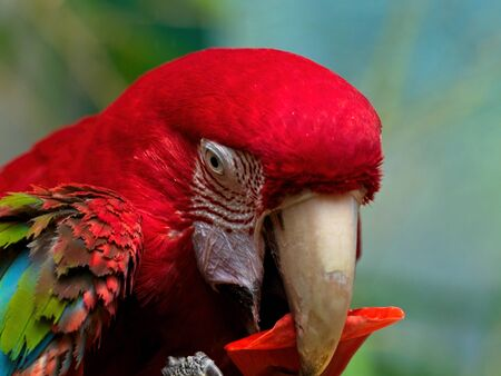 Green Winged Macaw, Ara chloropterus Stock Photo