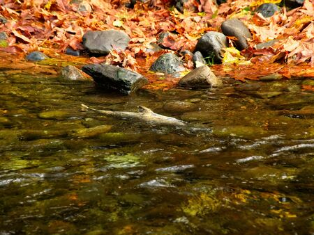 Salmon run in the fall on Pacific west coast. Goldstream river in British Columbia, Vancouver Island 版權商用圖片