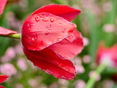 Red tulips covered in water drops bloom in the springtime