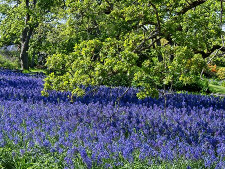 Field of purple and blue lupines (Lupinus Perennis) blooming in the springtime in as public park in Victoria BC, Vancouver Island