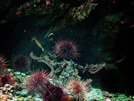 Giant Pacific Octopus moving under water with rocks and plants around, water is saturated with air bubbles