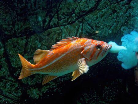 Common goldfish (Carassius auratus) swimming underwater in aquarium