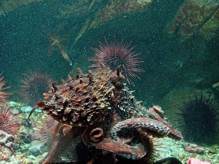 Giant Pacific Octopus with motion blur, moving under water with rocks and plants around, water is saturated with air bubbles 写真素材