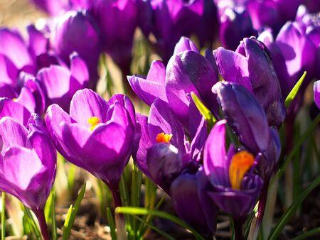 Bunch of purple crocuses bloom under the sun in the springtime
