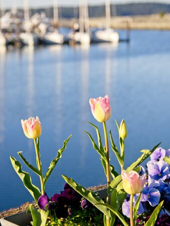 Tulips bloom on the shore of Sidney, Vancouver Island, BC with yachts in marina as a background Stok Fotoğraf