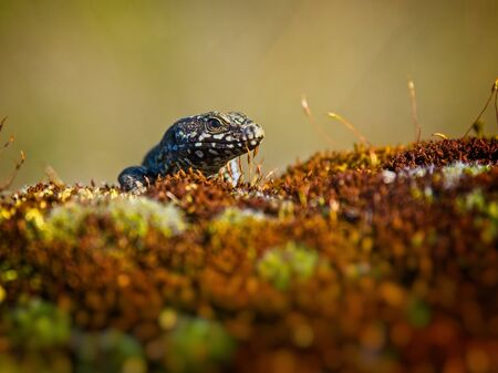 European wall lizard sitting on a mossy branch