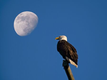Bald eagle perching on the pole in Sidney BC, Vancouver Island, moon in the background