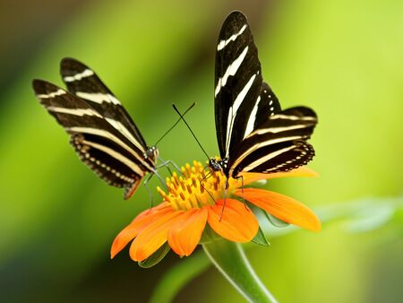 Pair of Zebra Butterflies (Heliconius charithonia) on the yellow flower against blurred background