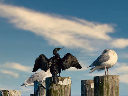 Pelagic cormorant (Phalacrocorax pelagicus) drying up its wings on the top of the pole near the shore of Victoria BC, Vancouver Island Stok Fotoğraf