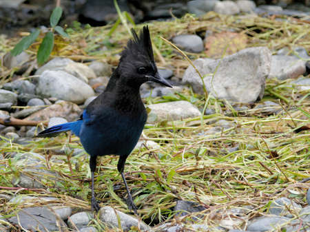 Steller's Jay looking for food near the water stream during salmon run in Goldstream park, Victoria BC 版權商用圖片