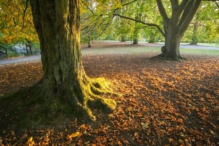 2 november: Big trees with their roots and ground covered in foliage, during an autumn sunset in one of the parks of Lund, Sweden Stock Photo