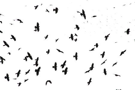 흰색 배경에 고립 된 검은 까마귀