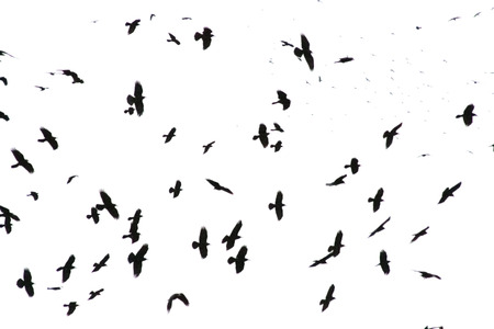 Isolated black crows on white background