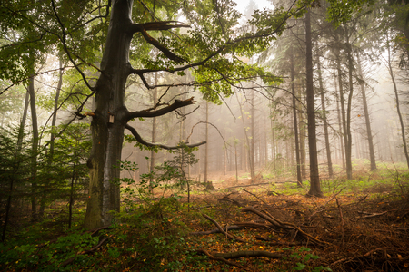 Horizontal shot of a scary, fairytale-like autumn forest covered in fog photo