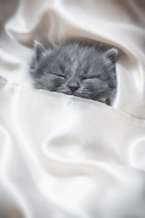 Sleeping grey kitten covered in silks Archivio Fotografico