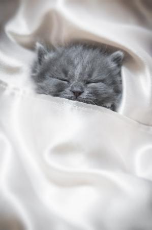 Sleeping grey kitten covered in silks Standard-Bild
