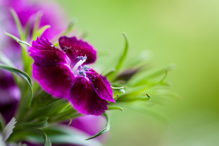 greyish: Macro photo of Dianthus chinensis flowers with blurry background