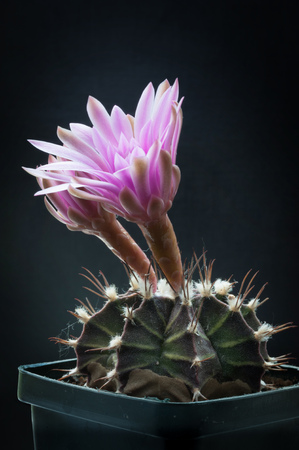 Two pink cactus flowers blooming on black background