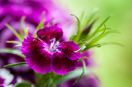 Macro photo of Dianthus chinensis flowers with blurry background