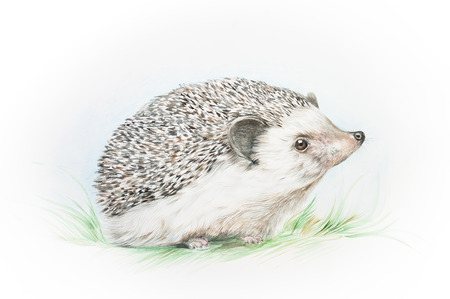 Watercolor illustration of a hedgehog in a grass