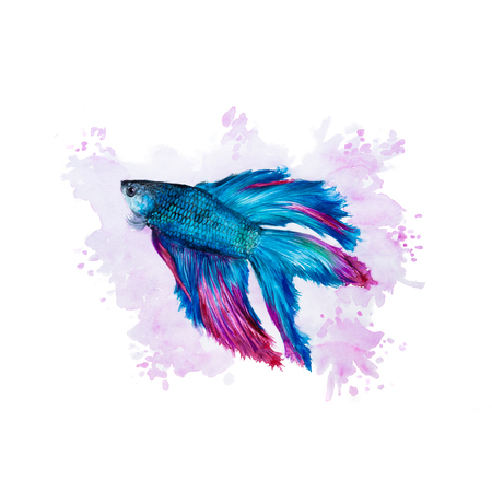 Watercolor illustration of a siamese fighting fish on a purple background