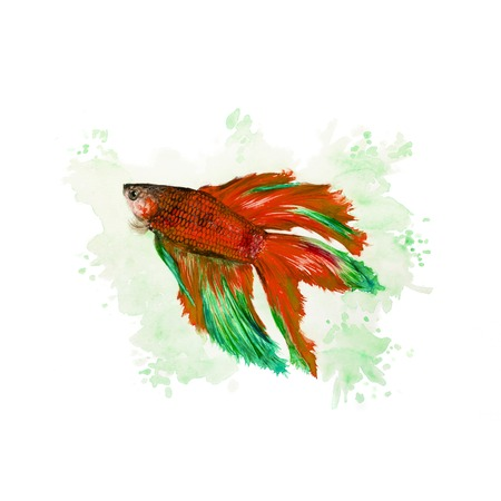 Watercolor illustration of a siamese fighting fish on a green background Stock Photo