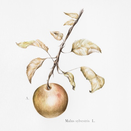 botanical illustration: Watercolor photorealistic botanical illustration of a European crab apple (malus sylvestris)