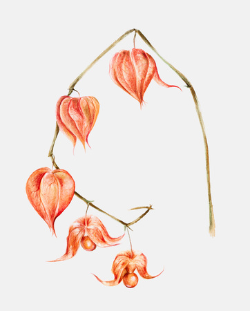 brushed: Watercolor illustration of a physalis fruit berry branch