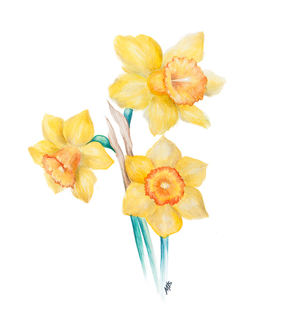 Watercolor Narcissus flowers
