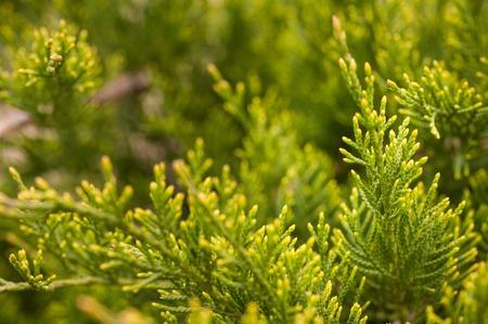 enebro: Macro closeup shot of a cypress tree on a sunny day