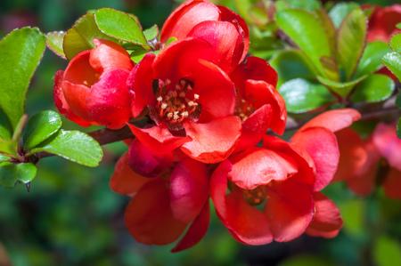 마 르 멜로의 밝은 분홍색 빨간 꽃의 매크로 샷 Chaenomeles superba - 품종 진홍색 및 금 - 식물원의 키예프, 우크라이나에서 밝고 화창한 날에 촬영 하 디 관 스톡 콘텐츠