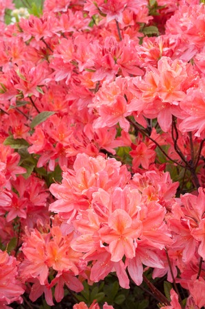 Rhododendron flowers blooming at the botanical garden in Kiev, Ukraine. Macro shots of bright pink flowers blooming.