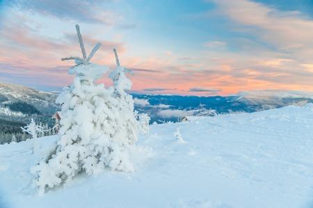 아름 다운 겨울 저녁 동안 작은 소나무와 전면 Dragobrat 산,대로, 우크라이나에서에서보기