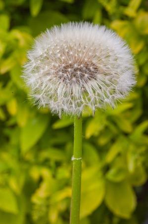화창한 여름 날에 멀리 날아 민들레 씨앗의 매크로 샷