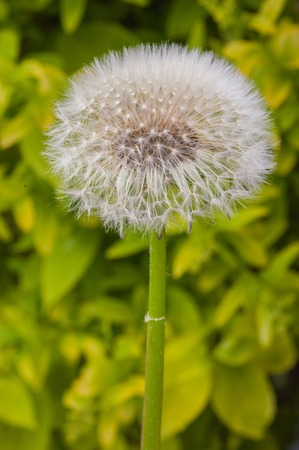 Macro shot of dandelion seeds blowing away shot on a sunny summer day Banco de Imagens