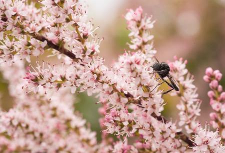 화창한 여름 날에 쏜 총을 수집하는 꿀벌 피는 타마 린스 핑크 꽃의 분기의 매크로 근접 촬영 샷 스톡 콘텐츠