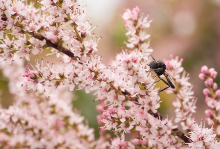 Macro closeup shot of a branch of blooming tamarix pink flowers with a bee collecting nectar shot on a sunny summer day
