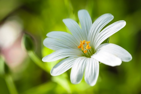 Macro of white Stellaria holostea flowers (greater stitchwort) in a forest under the soft spring or summer sun