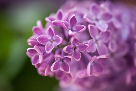 Macro shots with narrow depth of field of purple lilac flowers with small droplets. Warm colored background.