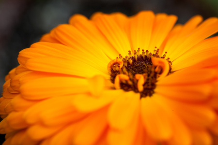 Macro shot with shallow depth of field of an orange gerbera flower shot on a bright sunny day Banco de Imagens