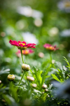 부드러운 bokeh 배경으로 밝고 화창한 날에 촬영 초원에 코스모스 꽃의 매크로 촬영